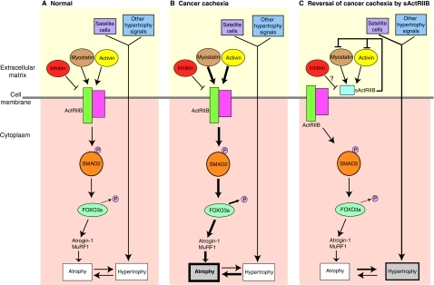 The activin signaling pathway in skeletal muscle. Schem ...