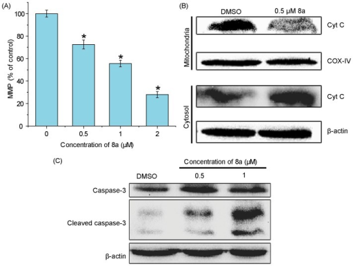 Effects of 8a on the level of MMP and expression of apoptosis-related proteins.(A) MMP affected by 8a in CCRF-CEM cells (n = 3). *p<0.05 compared with vehicle control. (B) Western blot analysis of the effect of 8a on cytochrome C release in CCRF-CEM cells treated with indicated doses of 8a for 24 h. (C) Representative Western blots for the expression of cleaved caspase-3 in CCRF-CEM cells following exposure to different concentrations of 8a for 24 h. β-actin (∼42 kDa) was used as a loading control.