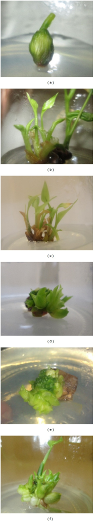 Effects of medium solidification and apex damage. (a) Swollenness of explant in media with 3 g/L plant agar. (b) Leaves show vitrification problem in media with 3 g/L plant agar, (c) regenerated shoots with necrotic leaves in media with 8 g/L plant agar. (d), (e), and (f) Induction of microshoots through elimination of apical dominance.