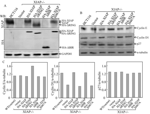 Ectopic expression of XIAPΔRING in XIAP−/− cells resulted in upregulation of Cyclin E protein expression(A) stable HCT116 XIAP−/− cell transfectants used in our study were identified by Western blot. (B & C) the cells were synchronized by incubation of cells with 0.1% FBS medium for 24h. The cells were then cultured in 2% FBS medium for 24 h and cell extracts were subjected to Western blot for determination of protein expression as indicated (B), and quantified (C).