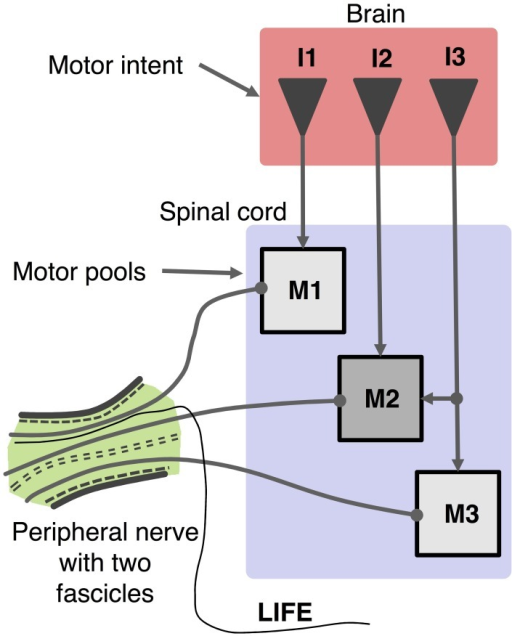 Schematic organization of motor control system and recording of motor activity with a LIFE. Motor intent (I: I1, I2, I3) can be represented as a multi-dimensional signal from centers in the brain to motoneurons pools in the spinal cord, which produce firing patterns in motoneurons (M: M1, M2, M3). Axons from a given motor pool tend to cluster together along the length of the peripheral nerve fascicle. The diagram shows a LIFE electrode that has been implanted into one of the fascicles of the nerve.