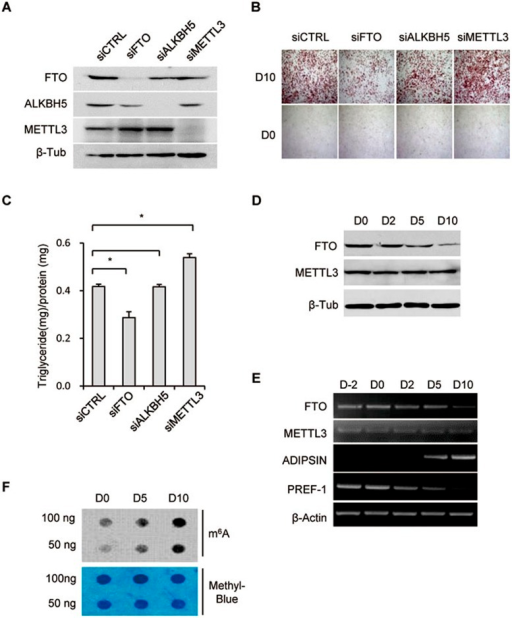FTO depletion interferes with adipogenesis. (A-C) 3T3-L1 pre-adipocytes (Day −2) were treated with FTO, ALKBH5, METTL3 or control siRNA. Forty-eight hours later, cells were lysed and subjected to immunoblotting with the indicated antibodies (A). Forty-eight hours following siRNA treatment differentiation was induced by incubation with the differentiation cocktail (IBMX/DEX/Insulin) on Day 0. Differentiation status was determined by Oil Red O staining (B) and triglyceride assay (C) on Day 0 and 10. (C) Triglyceride content was quantified and normalized to protein content. *P < 0.05 is considered significant. Results are shown as mean ± SD. (D) 3T3-L1 cells collected at different time points (D0/2/5/10) during adipogenesis were lysed and subjected to immunoblotting with the indicated antibodies. β-tublin was used as loading control. (E) RT-PCR detected the expression levels of FTO, METTL3, as well as adipogenic markers, including ADIPSIN and PREF-1, during adipocyte differentiation. β-Actin was used as loading control. (F) mRNA was isolated from multiple stages (D0/5/10) of adipogenesis and used in dot blot analyses with m6A antibody. mRNA was loaded by two-fold serial dilution. The m6A contents are shown in the upper panel. Equal loading of mRNA was verified by methylene blue staining (lower panel). See also Supplementary information, Figure S1.