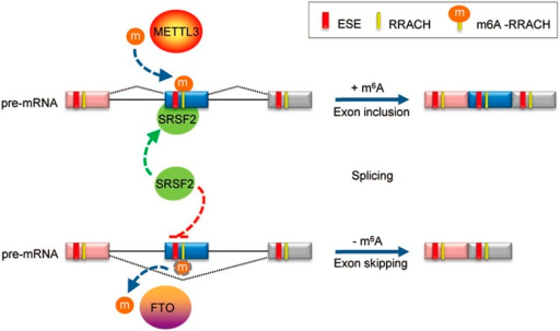 Cooperative role of m6A in regulating SRSF2 function at splice sites. The splicing factor SRSF2 can recognize exon splicing enhancer (ESE), inducing exon inclusion. METTL3-mediated m6A modification enhances the recruitment of SRSF2 to its target ESE, promoting exon inclusion. On the other hand demethylation of m6A-RRACHs near ESEs by FTO prevents recognition of the ESEs by SRSF2, thereby inhibiting inclusion and instead promoting exon skipping of the specific exon. M6A co-regulated by methyltransferases and demthylases serves as a new RNA splicing exonic cis-regulatory element that in combination with ESEs regulates SRSF2 protein recruitment.