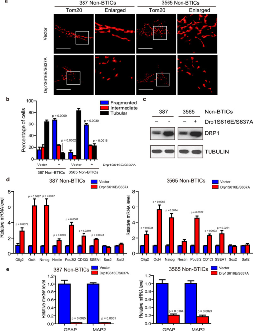 DRP1 phosphorylation regulates mitochondrial morphology and stem cell marker expressiona. Immunofluorescent staining of mitochondria by TOM20 in 387 and 3565 non-brain tumor initiating cells (non-BTICs) transduced by lentiviral control vector or a DRP1S616E/S637A double mutant. b. Mitochondria morphology was assessed from 120 cells of three different experiments. Data are displayed as mean ± s.e.m. (387, fragmented: p = 0.0009, tubular: p = 0.0002; 3565, fragmented: p = 0.0030, tubular: p = 0.0016; statistical significance determined by Student's t-test; n = 3). c. Immunoblot analysis of DRP1 protein in 387 and 3565 non-BTICs expressing control vector or a DRP1S616E/S637A double mutant. Images were cropped for presentation. Full-length blots are presented in Supplementary Fig. 10. d, e. 387 non-BTICs were transduced with vector encoding a DRP1S616E/S637A double mutant or control vector. Three days after infection, total RNA was isolated and cDNA was synthesized by reverse transcription. The mRNA levels of indicated genes were detected by real-time qPCR. Data are displayed as mean ± s.e.m. (387: Olig2, p = 0.0072; Oct4, p = 0.0097; Nanog, p = 0.0087; Nestin, p= 0.0309; Pou3f2, p= 0.0067; CD133, p = 0.0219; SSEA1, p = 0.0041; GFAP, p = 0.0095; MAP2, p = 0.0001. 3565: Olig2, p = 0.0334; Oct4, p = 0.0097; Nanog, p = 0.0074; Pou3f2, p = 0.0022; CD133, p = 0.0093; SSEA1, p = 0.0251; GFAP, p = 0.0164; MAP2, p = 0.0020. Statistical significance determined by Student's t-test; n = 3).