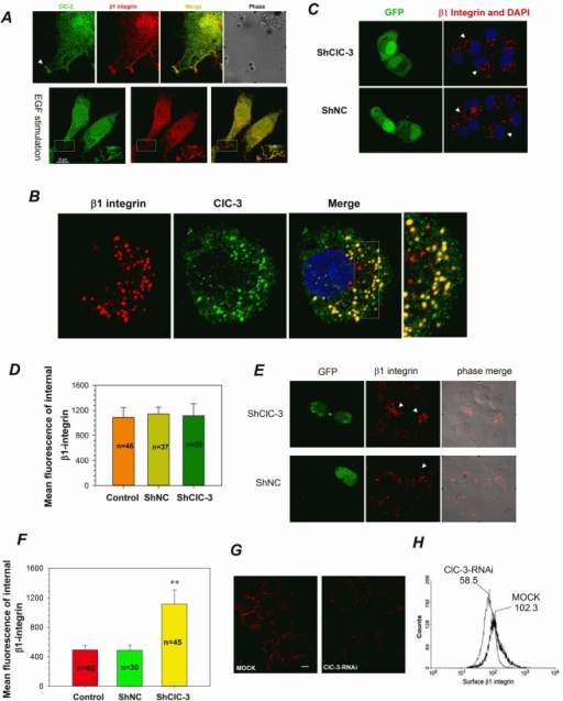 ClC-3 is Involved in β1 Integrin Recycling(A) Immunofluorescence of HeLa cells stained for ClC-3 (green) and β1 Integrin (red) indicates that ClC-3 colocalized with endogenous β1 integrin in ruffles (arrow or rectangle) in HeLa cells with or without EGF stimulation. The Pearson coefficient is 0.79±0.08 for without EGF stimulation and 0.71±0.04 for EGF stimulation (mean ± SEM, n=3 with 8 and 12 cells). (B) Indirect immunofluorescence indicates that ClC-3 and internalized β1-integrin colocalized together perfectly in the cytoplasm. The Pearson coefficient is 0.73±0.05 (mean ± SEM, n=3 with 10 cells). Surface β1 integrin was labeled with anti-β1 integrin antibody and the cells then incubated at 37°C for 2 h (pulse) to induce integrin-antibody complexes to be internalized. (C and D) Representative images(C) and quantitative analysis (D) show that down-regulation of ClC-3 expression did not affect membrane β1 integrin internalization. Before internalization assay HeLa cells were treated with shClC-3 or shNC for 48h. # P >0.05 VS shNC. Data are mean ± SEM. White arrows point transfected cells (green). (E-I) ClC-3 knockdown affects β1 integrin recycling in HeLa cells. Following β1 integrin internalization, recycling of anti-β1-integrin/β1-integrin complexes to the plasma membrane occurred by stimulation with serum. HeLa cells on plates (G-I) or coverslips (E and F) were mock-treated or treated with shClC-3 or ClC-3-RNAi. Immunofluorescence for detecting the fixed cells (E, arrows mark transfected cells) and mean fluorescence analysis of internal β1-integrin (F) suggests that internalized β1-integrin accumulates in the perinuclear region in ClC-3-knockdown cells transfected with shClC-3. β1-Integrin recycling to plasma membrane in live HeLa cells was visualized by immunofluorescence (H) and quantitatively measured by a flow cytometry recycling assay (I). ClC-3 knockdown (G) clearly impairs β1 integrin recycling to the plasma membrane. **P<0.01 VS shNC or mock. Data in (F and G) are mean ± SEM.