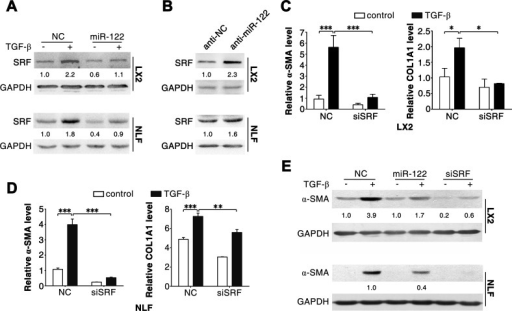 Silencing of SRF attenuates the effect of TGF-β in LX2 and NLFs(A) Transfection of miR-122 repressed the expression of SRF. (B) Inhibition of miR-122 elevated the level of SRF. (C and D) Knockdown of SRF attenuated the TGF-β-induced increase of α-SMA and COL1A1 mRNA levels. (E) Inhibition of SRF impaired the TGF-β-induced expression of α-SMA protein. LX2 and NLFs transfected with the indicated duplex were stimulated with 2 ng/ml TGF-β (+) or remained untreated (−, control) for 48 hours before immunoblotting (A, B and E) or qPCR analysis (C and D). For (A-E), GAPDH was used as an internal control. For immunoblotting, the intensity of each band was densitometrically quantified. The levels of target genes in each sample were normalized by that of GAPDH. * P < .05; ** P < .01; *** P < .001.