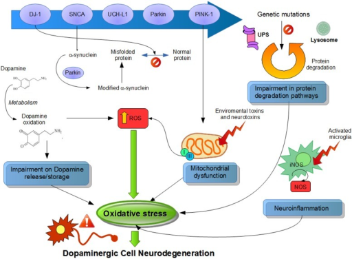 Suggested physiological processes related to pathogenesis of Parkinson's disease (PD). Different pathways and their dysfunctions resulting from genetic modifications in PD-related genes and lead to an increased oxidative stress. Mutations or altered expression of these proteins result in mitochondrial impairment, oxidative stress, and protein misfolding. Also, dopamine metabolism may be oxidized to reactive dopamine quinones contributing to increased levels of reactive oxygen species. α-Synuclein becomes modified and accelerate its aggregation. Increased oxidative stress provokes impaired function of the UPS that degrades misfolded or damaged proteins and hereby further affecting cell survival. Environmental toxins impair mitochondrial function, increase the generation of free radicals, and lead to aggregation of proteins, including α-synuclein. Mitochondrial dysfunction by complex I inhibition affects by adding an increase in oxidative stress and a decline in ATP production, leading to damage of intracellular components and to cell death. Also, neuroinflammatory mechanisms might contribute to the cascade of consequences leading to cell death. In summary, all these several cellular mechanisms attributed to oxidative stress are implicated in the selective degeneration of dopaminergic neurons.