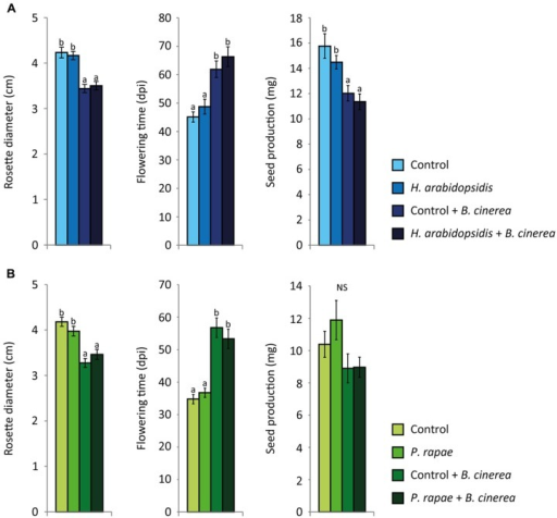 Growth and fitness parameters of single- and double-attacked plants. Rosette diameter (cm), flowering time (days post inoculation), and total seed production (mg) of Arabidopsis plants. Plants were either inoculated with H. arabidopsidis(A) or infested with P. rapae caterpillars (B). At 24 h the caterpillars were removed after which all plants were inoculated with B. cinerea(A,B). Different letters indicate a statistically significant difference between the different treatments (ANOVA, Tukey post hoc test; P < 0.05; NS = not significant). Error bars represent SE, n = 20 plants.