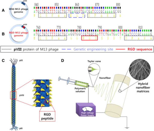 Schematic diagrams of RGD peptide-displaying M13 bacter | Open-i
