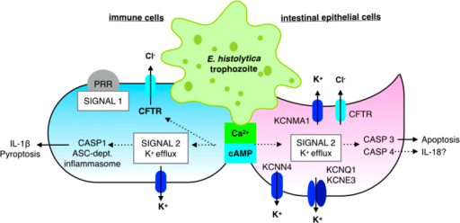 Model for E. histolytica activation of K+ channels in host cell killing.In both intestinal epithelial and immune cells, E. histolytica triggers increased intracellular Ca2+ and cAMP. In an intestinal epithelial cell (purple cell on the right), Cl− efflux is mediated by apical Cftr, while K+ efflux occurs at both apical and basolateral surfaces. Increased intracellular Ca2+ activates large conductance K+ channels in the apical and basolateral membranes. Cl− efflux may be activated directly by increased intracellular Ca2+ and/or cAMP or may occur secondarily to K+ efflux to regulate cellular charge polarization. As K+ and Cl− efflux occurs, water and intracellular ion concentrations fall which causes cells to shrink. Cell shrinkage and decreased intracellular K+ trigger caspase activation. In intestinal epithelial cells it appears that caspase-3 is activated leading to apoptotic death. In macrophages (blue cell on the left), decreased cytosolic K+ concentration mediated caspase-1 activation leading to inflammasome activation, IL-1β secretion and pyroptotic cell death.
