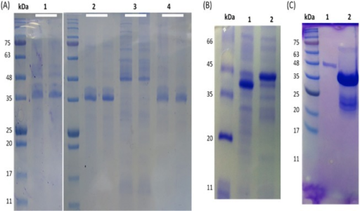 Purification of inclusion bodies by solubilization and refolding in alkaline-based buffer containing redox agents.A) Semi-solubilization of inclusion bodies in dH2O (pH 12) after 10 min of incubation. L1, the isolated inclusion bodies; L2, purified protein (final product); L3, removing of host cell proteins; L4, remaining insoluble aggregates after final solubilization (each line duplicated). B) Refolding of soluble protein in buffer containing oxidized and reduced glutathione to reform the disulphide bridges of TACH. The refolded protein showed different levels under reducing and non-reducing conditions of the SDS-PAGE, indicating the formation of disulphide bridges. C) SDS-PAGE analysis of the fusion protein. L1, a single band at the expected size for the monomer. L2, double bands of the fusion protein. The upper faint band at the dimer size and the lower thick band at the monomer size (arrows).