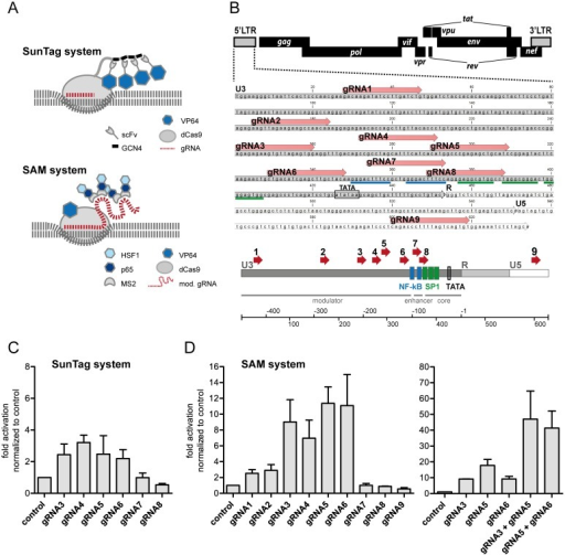 Identifying an optimal target region for SunTag and synergistic activation mediator (SAM) systems in the HIV 5'LTR.(A) Scheme of SunTag and SAM activation systems. In both systems binding of a guide RNA (gRNA) to a specific target DNA sequence results in recruitment of multiple activator domains (VP64, HSF1, p65; see text for details). (B) HIV 5'LTR (HXB2) sequence with complimentary gRNAs1-9. (C, D) The effect of SunTag (C) and SAM (D) systems on LTR activation was tested by transient expression of gRNAs and system components in TZM-bl cells carrying a luciferase reporter under HIV LTR control. Activation levels were measured 48 h post transfection using a luciferase assay on whole cell lysates. Activation is shown as fold increase (light units/transfected cell) over the negative control (no gRNA expression). Shown are results of three (C; D, left panel) and two (D, right panel) independent experiments.