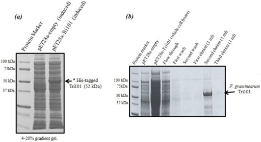 The induction and purification of His-FgTri101 expressed in E. coli BL21(DE3) cells. (a) His-FgTri101 from Fusarium graminearum was induced and overexpressed in BL21(DE3) cells. (b) The enzyme was purified with Clontech's His-TALON gravity columns by overnight incubation at 4 °C. All washes and subsequent elution steps were conducted at room temperature.