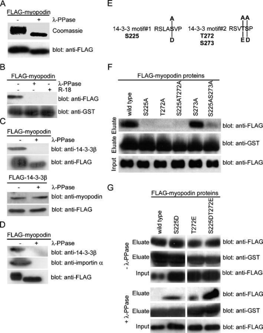 Two phosphorylated residues in myopodin mediate 14-3-3 binding. (A) SDS-PAGE analysis showing reduced molecular weight of purified FLAG-myopodin after dephosphorylation with λ-PPase. (B) Dephosphorylation of myopodin abrogates binding to GST–14-3-3β. The interaction is also prevented by the 14-3-3–blocking peptide R18. (C) Binding of purified FLAG-myopodin to endogenous 14-3-3β from C2C12 myoblasts is abrogated by dephosphorylation of myopodin (top). In contrast, binding of endogenous myopodin to purified FLAG–14-3-3β is not affected by the dephosphorylation of 14-3-3β (bottom). (D) Dephosphorylation with λ-PPase abrogates the interaction of FLAG-myopodin (bottom) with endogenous 14-3-3β (top) and importin α (middle) from X. laevis extracts. (E) Putative phosphoacceptor sites within the 14-3-3–binding motifs of myopodin. S225 in motif#1, as well as T272 and S273 in motif#2, were substituted with alanine to remove putative phosphorylation sites. Replacement with aspartic acid or glutamic acid was done to mimic phosphorylation. (F) Purified FLAG-tagged, wild-type myopodin interacts with GST–14-3-3β. Substitution of S225 or T272 with alanine (S225A, T272A, and S225AT272A) abrogates 14-3-3β binding. Replacement of S273 with alanine (S273A) does not interfere with the binding of myopodin to 14-3-3β. (G) Substitutions of S225 or T272 with aspartic or glutamic acid, respectively, does not alter the binding of myopodin to 14-3-3 (top). However, after dephosphorylation, only S225DT272E retains strong binding to GST–14-3-3β. Single mutations (S225D and T272E) bind significantly less, and wild-type binding is abrogated.