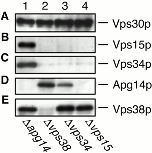 Coimmunoprecipitaion with Vps30p. AKY112 (Δapg14; lane 1), AKY113 (Δvps38; lane 2), AKY110 (Δvps34; lane 3), and AKY116 (Δvps15; lane 4) cells were grown in YPD at 28°C. Total lysates were solubilized with Triton X-100 and incubated with protein A–immobilized anti-Vps30p antibodies. Retained proteins were washed, eluted with 100 mM glycine-HCl, pH 2.5, precipitated with 5% TCA, and suspended in SDS sample buffer. Proteins were separated by SDS-PAGE and detected by immunoblotting with anti-Vps30p (A), anti-Apg14p (B), anti-Vps34p (C), anti-Vps15p (D), and anti-Vps38p (E) antibodies.