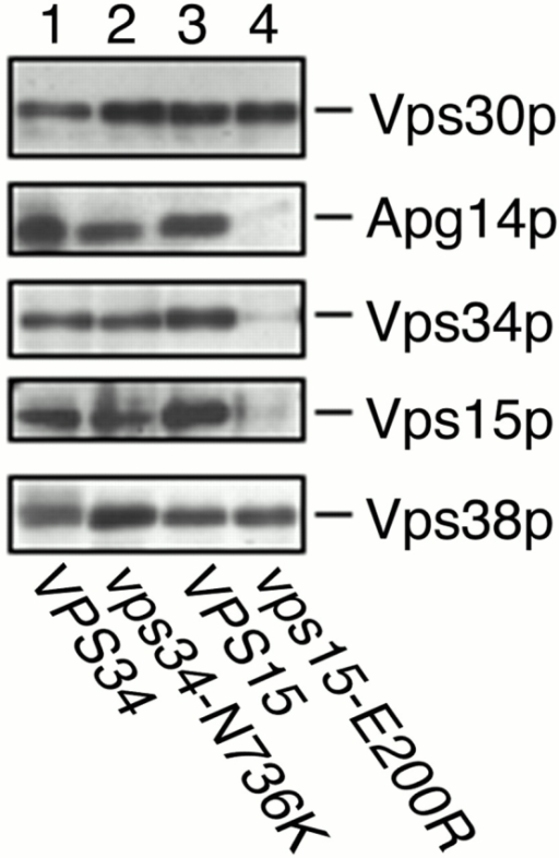 Kinase-defective Vps15p is unable to form Vps30p complexes. AKY109 (Δvps34)/pKHR54 (VPS34) (lane 1), AKY109/pKHR60 (vps34-N736K) (lane 2), AKY115 (Δvps15)/pKHR55 (VPS15) (lane 3), and AKY115/pKHR59 (vps15-E200R) (lane 4) cells were grown to mid-log phase in SC medium lacking uracil at 28°C. Total lysates were solubilized with Triton X-100 and incubated with protein A–immobilized anti-Vps30p antibodies. Bound proteins were washed and eluted with 100 mM glycine-HCl, pH 2.5. Proteins were separated by SDS-PAGE, followed by detection by immunoblotting with anti-Vps30p, anti-Apg14p, anti-Vps34p, anti-Vps15p, and anti-Vps38p antibodies.