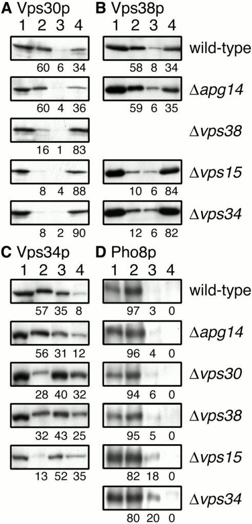 Subcellular fractionation of Vps30p, Vps38p, and Vps34p. AKY106 (wild type), AKY110 (Δvps34), AKY111 (Δvps30), AKY112 (Δapg14), and AKY126 (Δvps15) cells, each bearing pKHR65 (VPS38-3xHA), and AKY113 (Δvps38) cells bearing pRS313 (empty vector) were grown in SC without histidine at 28°C. Cell lysates were subjected to subcellular fractionation by differential centrifugation as described in Materials and Methods. Total cell lysate (lane 1), LSP (lane 2), HSP (lane 3), and HSS (lane 4) fractions were subjected to SDS-PAGE, followed by immunoblotting with anti-Vps30p (A), anti-HA (16B12) (B), anti-Vps34p (C), or anti-Pho8p (D) antibodies. Relative amounts of each fraction were indicated. The values in A and C were averages of three independent experiments.