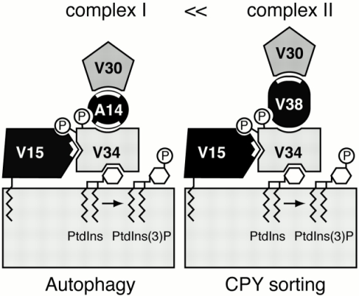 Model for two distinct PtdIns 3–kinase complexes. Vps15p is anchored to membrane by myristic acid attached to the NH2 terminus of Vps15p (Herman et al. 1991b). Apg14p and Vps38p act as connectors between Vps30p and Vps34p. Phosphorylation of Vps34p by Vps15p is required for Vps34p–Vps15p and Vps34p–Apg14p/Vps38p interactions. White thick lines indicate sites of the interactions essential for the in vivo protein stabilization.