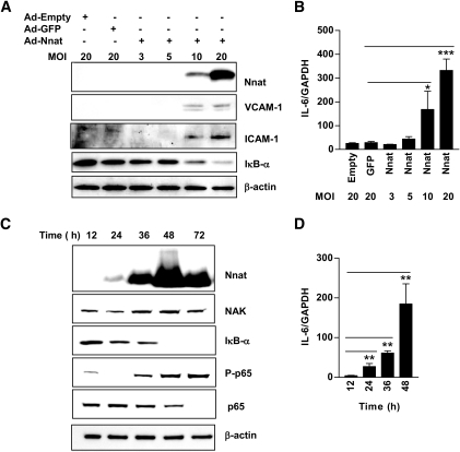 Nnat expression in HAECs activates NF-κB–dependent gene expression in time- and concentration-dependent manner. A: Western blots of Nnat, VCAM-1, ICAM-1, and IκB-α protein from endothelial cells infected with Ad-Empty, Ad-GFP, and increasing number of Ad-Nnat adenovirus per cell (MOI). B: Real-time PCR measurement of IL-6 mRNA expression in endothelial cells infected with Ad-Empty, Ad-GFP, or Ad-Nnat at different MOI. (n = 3). C: Endothelial cells were collected at various times after infection with Ad-Nnat and Western blots were probed with antibodies to Nnat, NAK, IκB-α, phospho-p65, p65, and β-actin. D: Time course of IL-6 mRNA expression after Ad-Nnat infection of endothelial cells (n = 3). IL-6 mRNA expression levels were normalized to GAPDH. ***P < 0.001, **P < 0.01, *P < 0.05. Data are a representative of three to four experiments.
