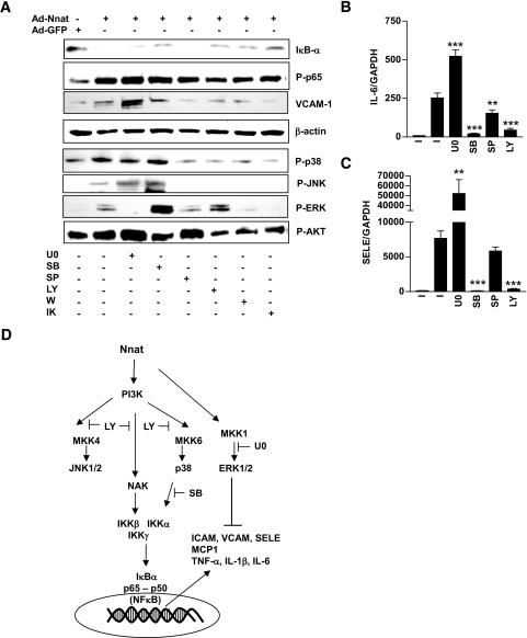 Effect of kinase inhibitors on Nnat-induced NF-κB activation. A: Western blot analysis of Iκ B-α, Phospho-p65 (P-p65), VCAM-1, β-actin P-p38, P-JNK1/2, P-ERK1/2, and P-AKT protein levels in the presence of kinase inhibitors. IL-6 (B) and SELE (C) mRNA expression in HAECs infected with Ad-Nnat. Effect of kinase inhibitors on Nnat-induced increase in IL-6 and SELE expression levels, normalized to GAPDH. I, no inhibitor; U0, U0126; SB, SB202190; SP, SP600125; LY, LY294002; W, Wortmannin; and IK, IKK-VII. ***P < 0.001, **P < 0.01. Data are representative of three to four experiments. D: Schematic describing Nnat-induced signal transduction in endothelial cells. Inhibitors of PI 3-kinase and p38 completed blocked Nnat-induced NF-κB activation, JNK1/2 inhibition led to a partial block, and inhibition of ERK1/2 increased NF-κB activation.