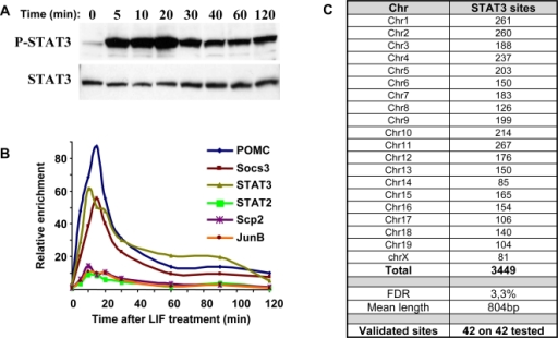 Targets of LIF/STAT3 action.A) The time course of STAT3 activation (phospho- STAT3) was determined in AtT-20 cells following treatment with LIF (10 ng/ml). Western blot analysis of P-STAT3 is compared to total STAT3 protein. B) Time course of STAT3 occupancy on the promoter of known STAT3 target genes determined by ChIP and QPCR. C) Chromosomal distribution of genomic binding sites for STAT3 determined by ChIP-chip analysis of LIF-treated (20 min) AtT-20 cells. Triplicate ChIP samples were analyzed on Affymetrix Mouse Tiling 2.0R Array Sets. Raw data were extracted with GCOS software (Affymetrix) and were analyzed using the MAT software package. STAT3 enrichment peaks were selected on the basis of a P value threshold of 10−5. Redundant sequence filtering led to the removal of 74 sequences, thus yielding a final count of 3449 STAT3 binding sites. The list of these sites is presented in Table S1. The tiling array results were validated by QPCR analysis of independent ChIPs for 42 loci distributed randomly throughout all chromosomes; all 42 were confirmed. The same loci were used for further studies in Figure 3. FDR, calculated false discovery rate.