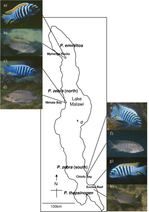 Map of Lake Malawi showing sampling sites of study populations. Male (a) and female (b) Pseudotropheus emmiltos (northern orange) from Mphanga Rocks; male (c) and female (d) Pseudotropheus zebra (northern blue) from Nkhata Bay; male (e) and female (f) Pseudotropheus zebra (southern blue) fromChiofu Bay and male (g) and female (h) Pseudotropheus thapsinogen (southern orange) from Eccles Reef.