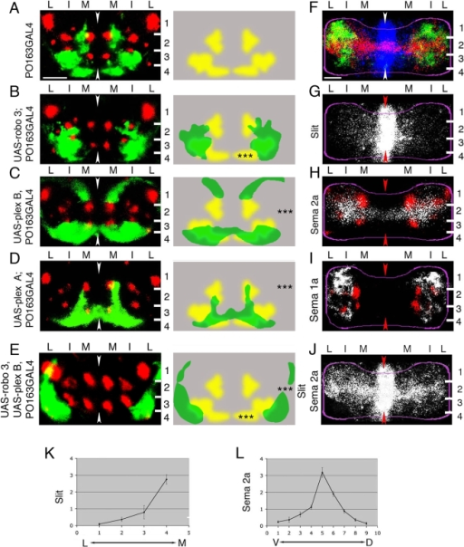 "Effects of altering levels of receptors for Slit, Sema 2a, or Sema 1a in sensory neurons and the distribution of cues in neuropile.(A–E) Representative images of sensory terminals labelled with PO163GAL4, UAS-n-syb-GFP (green) with respect to Fas II tracts (red) in 21-h embryos (left) and diagrams showing patterns of sensory terminals superimposed on wild-type pattern (right). In all cases images show projections of a confocal z series of transverse sections through A7. Dorsal is up. Arrowheads show midline. White lines, layer boundaries. Numbers indicate layers. M, medial; I, intermediate; L, lateral domains. *, p<0.05; **, p<0.01; ***, p<0.001. Scale bar: 10 µm. (A) Wild-type pattern of sensory terminals revealed in A7 in the CNS of PO163GAL4, UAS-n-syb-GFP embryos. (B) Expressing Robo3 in sensory neurons excludes sensory terminals from the medial domain of neuropile. Sensory terminals shift laterally with respect to Fas II tracts. Quantification of the normalised surface area occupied by sensory terminals (sensory area [SA]) in the medial domain (SAM/T = SA[medial]/SA[medial+intermediate+lateral]) reveals a significant decrease (***, p = 9×10−25; Student's t-test; average SAM/T = 0.04; SD = 0.04; n = 30 hemisegments) with respect to wild-type embryos (average SAM/T = 0.3; SD = 0.07; n = 30 hemisegments). (C) Expressing Plex B in sensory neurons results in exclusion of sensory neuron terminals from neuropile layer 2. Quantification of SA in layer 2 (SA2/h = SA(layer 2)/[hemisegment surface area]) reveals a significant decrease (***, p = 4×10−17; Student's t-test; average SA2/h = 0.003; SD = 0.006; n = 32 hemisegments) with respect to wild-type embryos (average SA2/h = 0.06; SD = 0.02; n = 32 hemisegments). (D) Expressing Plex A in sensory neurons results in their exclusion from layer 1 and from intermediate portions of layer 3. Sensory terminals appear compressed into the most medial portion of layers 4, 2, and 3, so that the overall effect is a ventral/medial projection pattern in the form of an arc on both sides of the midline. Quantification of SA1+3+4/h (SA1+3+4/h = SA[layer 1+3+4]/[hemisegment surface area]) reveals a significant decrease (***, p = 2×10−22; Student's t-test; average SA1+3+4/h = 0.1; SD = 0.04; n = 38 hemisegments) with respect to wild-type embryos (average SA1+3+4/h = 0.3; SD = 0.05; n = 32 hemisegments). (E) Co-expressing Robo3 and Plex B in sensory neurons produces a ""combination"" of Robo 3 and Plex B expression phenotypes. Sensory terminals are now mostly confined to the lateral-most portion of layers 3 and 4. Quantification of SA in the medial domain reveals a significant decrease (***, p = 1×10−14; Student's t-test; average SAM/T = 0.03; SD = 0.05; n = 14 hemisegments) with respect to wild-type embryos (average SAM/T = 0.3; SD = 0.07; n = 30 hemisegments). Quantification of SA in layer 2 reveals a significant decrease (***, p = 6×10−15; Student's t-test; average SA2/h = 0.004; SD = 0.009; n = 32 hemisegments) with respect to wild-type embryos (average SA2/h = 0.06; SD = 0.02; n = 32 hemisegments). (F–I) Immunofluorescence visualisation of Slit, Sema 2a, and Sema 1a (F, G, and J) and mapping of Sema 2a and Sema 1a (white) with respect to Fas II tracts (red) (H and I) in 13-h-old embryos. Images show projections of confocal z series of transverse sections through A7. Dorsal is up. Arrowheads show midline. White lines, layer boundaries. Magenta lines, neuropile outlines. Numbers indicate layers: M, medial; I, intermediate; L, lateral domains. Scale bar: 5 µm. (F) Superposition of Slit (blue), Sema 2a (red), and Sema 1a (green) patterns. (G) Slit is expressed at highest levels at the midline in all dorso-ventral layers of the neuropile. It forms a medial to lateral concentration gradient. (H and I) Mapping of Sema 2a and Sema 1a expression with respect to Fas II tracts. Note that pattern of forming Fas II tracts in 13-h embryos is variable and slightly different from that in 21-h embryos. However, prominent tracts are still readily recognisable reference points. (H) Sema 2a is expressed at high levels in a medio-lateral stripe perpendicular to the midline extending across the central region of neuropile in layer 2 between I2 and I3. It forms central to dorsal and central to ventral concentration gradients. Expression of the Plex B receptor for Sema 2a (see C) shifts sensory terminals away from high Sema 2a levels. (I) Sema1a expression is strongest in layer 1 and in the intermediate portions of layer 3. Sema 1a is very weakly if at all expressed in layer 4 and in the most medial parts of the neuropile. Expression of the Plex A receptor for Sema 1a (see D) results in the exclusion of sensory terminals from regions with high Sema 1a levels. (J) Superposition of Slit and Sema 2a (both white) patterns. Co-expression of Robo 3 and Plex B (see E) shifts sensory terminals from high Slit and Sema 2a levels. (K) Quantification of the Slit gradient from lateral (L) to medial (M) in a hemisegment (n = 12 hemisegments). Note the medial to lateral gradient. (L) Quantification of the Sema 2a gradient from the ventral (V) to dorsal (D) neuropile (n = 9). Note the central to ventral and the central to dorsal gradients."