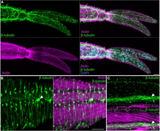 The nervous system of the cercarial tail.(A) Extensive neural projections within the tail visualized by β-tubulin immunostaining. Overlay with phalloidin and DAPI show the position of the nerves relative to the tail musculature and nuclei, respectively. (B) Superficial neural projections (green) laying outside muscle layer (magenta). Arrowhead indicates a sensory papilla. (C) Longitudinal nerve cord (white arrowhead) running along a longitudinal muscle within the tail. Scale bars, 10 µm. Anterior faces left in all panels.