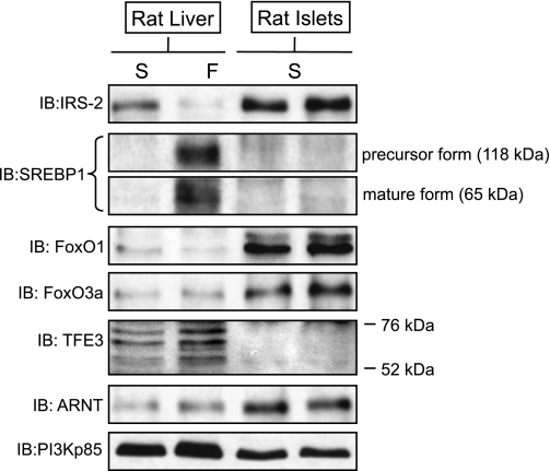 Distinct mechanisms regulate IRS-2 expression in vivo in liver and in islets. Normal rats were either fasted for 12 h (S) or allowed ad libitum feeding and subjected to an intraperitoneal injection of insulin (0.75 mU/g body wt) 2 h prior to tissue harvesting (F). The liver and pancreatic islets from the same rats were then harvested and analyzed in parallel. The protein expression levels of IRS-2, SREBP-1 (precursor and proteolyzed activated forms), FoxO1, FoxO3a, TFE3, ARNT, and PI3K p85 (control) were measured in parallel by immunoblotting. An example immunoblot (IB) analysis of a single animal is shown from three independent experiments.
