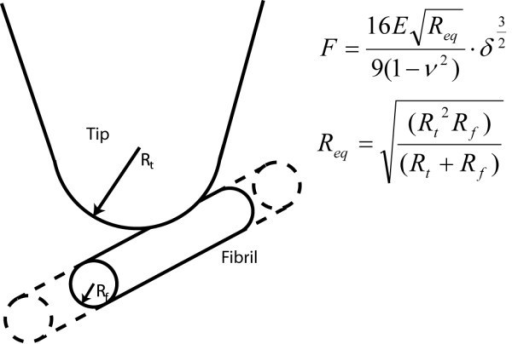 Schematic representation of equivalent contact radius. Schematic representation of the AFM tip as a spherical indenter and the protein fibril as an infinitely long cylinder.