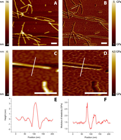 Harmonic force microscopy images. Height (A, C) and corresponding elasticity images (B, D) of α-synuclein fibrils on mica. E represents the cross-sections drawn over the fibril in C. F represents the cross-section from D and shows a few scan artifacts. The background, mica, has here a stiffness of ± 1.5 GPa, probably caused by the limited range of elastic moduli which can be measured with the chosen cantilever. The peaks shown around 80 and 120 nm are edge effects caused by changing contact areas. The dip around 100 nm is assumed to be relevant for averaging and used to determine a modulus of elasticity. Scale bars are 250 nm.