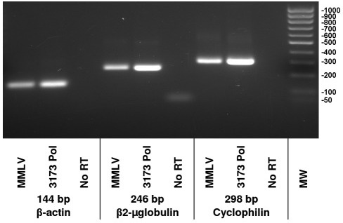 RT-PCR detection of human transcript RNAs.Beta-actin, beta2-microglobulin and cyclophilin target sequences of the indicated sizes were amplified from human liver total RNA using the primers described in Table 1. Shown are products of two step reactions where either MMLV RT or 3173 Pol were used for first strand cDNA synthesis, as indicated. Taq Pol was used for PCR. Products were resolved on a 1% agarose gel.