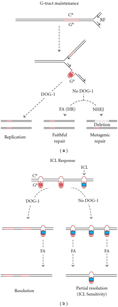 A model for DOG-1 function in genome stability and ICL response. The left panel illustrates DOG-1's role in G-tract maintenance. G4 formation on the lagging strand is resolved by the helicase function of DOG-1 and replication proceeds efficiently. In the absence of DOG-1 HR mediated by the FA pathway resolves a subset of stalled forks. Repair utilizing the mutagenic NHEJ repair mechanism results in deletions. The right panel describes a possible model for DOG-1 ICL sensitivity. In the presence of DOG-1, G4 structures may be resolved and not available as substrate for ICL stabilization. In the absence of DOG-1 G4 structures are available as substrate for ICL stabilization leading to an in increase in fork stalling, which is interpreted as an ICL sensitivity phenotype.