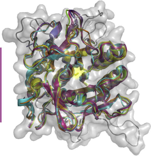 Structural model of the Plasmodium falciparum subtilisin-like protease 1 (PfSUB1) catalytic domain. Cartoon representation of the PfSUB1 homology model, which extends from P. falciparum 3D7 PfSUB1 residues 339–662, superimposed onto X-ray crystal structures of seven bacterial subtilisins. These are: subtilisin DY from Bacillus licheniformis (subtilisin Carlsberg) inhibited by N-benzyloxycarbonyl-Ala-Pro-Phe-chloromethyl ketone (PDB 1BH6, pink); Bacillus sp. Ak.1 subtilisin (1DBI, light blue); Bacillus lentus subtilisin (1GCI, yellow); Thermoactinomyces vulgaris subtilisin (thermitase) (1THM, orange); Bacillus licheniformis subtilisin inhibited by turkey ovomucoid third domain (OMTKY3) (1R0R, green); Bacillus mesentericus subtilisin inhibited by eglin-C (1MEE, red); and subtilisin BPN′ from Bacillus amyloliquefaciens (subtilisin Novo) inhibited by chymotrypsin inhibitor 2) (1TO2, purple). The PfSUB1 homology model is depicted in its see-through molecular envelope (grey). The active site catalytic Ser side chain is shown as a yellow stick. The six surface 'loops' of PfSUB1, which are absent from the bacterial homologues, are clearly visible. The vertical purple bar on the left indicates a length of 30 Å.