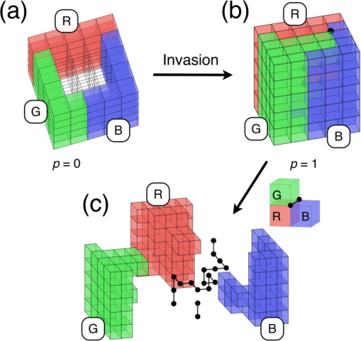 Illustration of the model.(a) In the initial state (p = 0) the vertical faces of the cubic lattice are divided into three sets. (b) Example of the final state of the invasion (p = 1), dividing the medium into three parts: R, G, and B. RGB edges and nodes are shown as thick black lines and spheres, respectively. In (c) we separate the three pieces to be able to look inside. Solid lines represent the edges of the dual lattice of the pore network. The color of each cube corresponds to the one of the fluid in the pore at the center of the cube. The channels connecting the pores are perpendicular to the faces of the cubes and for clarity they are not shown. The RGB edges and nodes are part of the dual lattice.