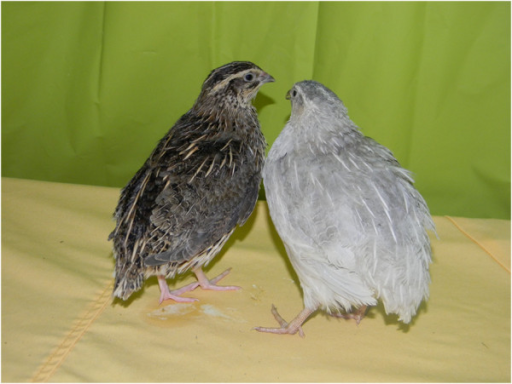 chromosome analysis of chicken quail and chicken quail hybrids Fine mapping of complex traits in non-model species: using next generation sequencing and  analysis) for each chicken chromosome  quail chromosome 1 was.