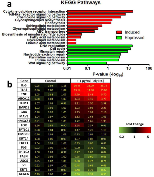 Gene expression profiling of NHEK identifies upregulation of genes involved in lipid biosynthesis, metabolism, and transporter pathways following treatment with dsRNA(a) Significantly changed genes analyzed using DAVID to identify significant pathways (EASE = 1.0). (b) Genes involved in barrier formation with a significant change as identified by SAM