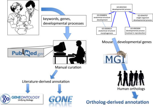 "Overview of sources of DFLAT annotation. On the left-hand side, neonatologists suggest keywords and developmental processes for manual curation of the literature, which proceeds according to the methodology of the Gene Ontology Consortium. Eligible annotations are submitted to the Gene Ontology and included in subsequent data releases. Others, valuable for our purposes, become part of the ""GONE"" collection. The right-hand side of the image depicts our procedure for deriving annotation from mouse orthologs. Mouse genes of interest are identified by having GO annotations in the ""Developmental Process"" subtree. For those genes for which MGI has identified unique human orthologs, all mouse annotations with the required evidence codes are mapped to the corresponding human gene."