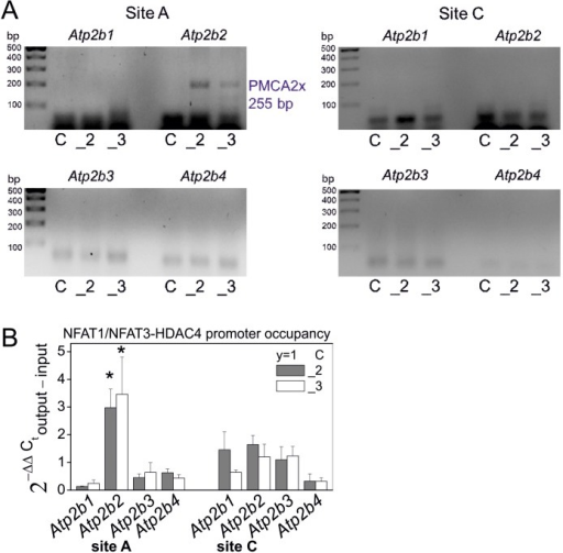 HDAC4-NFAT1/NFAT3 complex contribution to regulation of PMCA alternative splicing in PC12 cells.HDAC/NFAT involvement in regulation of alternative splicing of PMCA transcripts was analyzed by qPCR-chromatin immunoprecipitation. The analysis was performed for the splicing at site A and at site for four PMCA isoforms and the PCR products were migrated in 1% agarose gels (A). The qPCR data, were expressed as fold of change (2−ΔΔC) calculated from the difference: ΔCT of output (immunoprecipitated DNA with HDAC/NFATs) – ΔCT of input (total DNA) and statistics were calculated according to nonparametric paired Wilcoxon signed rank test at 95% confidence, where PMCA2-deficient cells (_2) or PMCA3-deficient cells (_3) were compared to control cells assigned to y = 1 value (B). Symbols: control cells (C), PMCA2-deficient cells (_2), PMCA3-deficient cells (_3), n = 3.