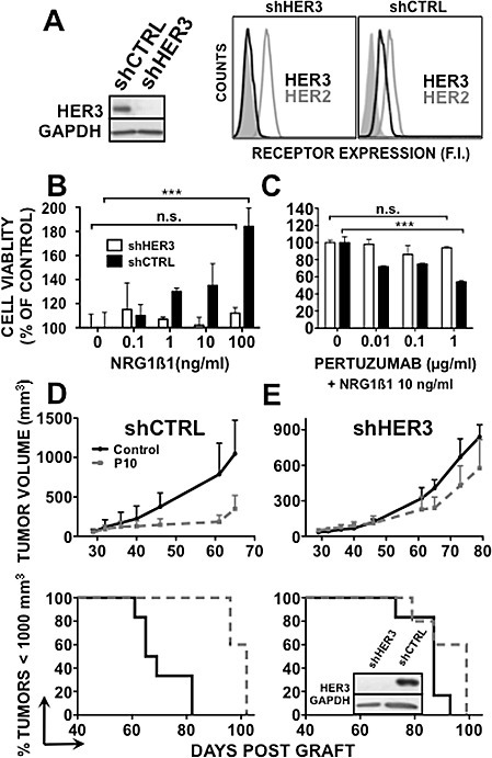 HER3 knockdown abrogates pertuzumab efficacy in BxPC-3 cellsHER3 expression was assessed by western blotting or cytometry [A] in BxPC-3 shHER3 and shCTRL cells. B, shHER3 and shCTRL BxPC-3 cells were serum-starved for 24h and then incubated with NRG1β1 for 5 days (left panel). C, ShHER3 and shCTRL BxPC-3 cells were serum-starved for 24h and then incubated with NRG1β1 and pertuzumab for 5 days (right panel). Cell proliferation was analyzed by MTS. Data are the mean ± SD. Results are expressed as percentage of growth relative to control (untreated cells). *** p < 0.001; n.s., not significant. ShCTRL (D) and shHER3 (E) BxPC-3 cells were xenografted in nude mice that were then treated with 10 mg/kg pertuzumab or sterile PBS twice per week. Results are presented as the mean tumor volume of each group during the treatment and Kaplan-Meier survival curves. Bars = SEM.