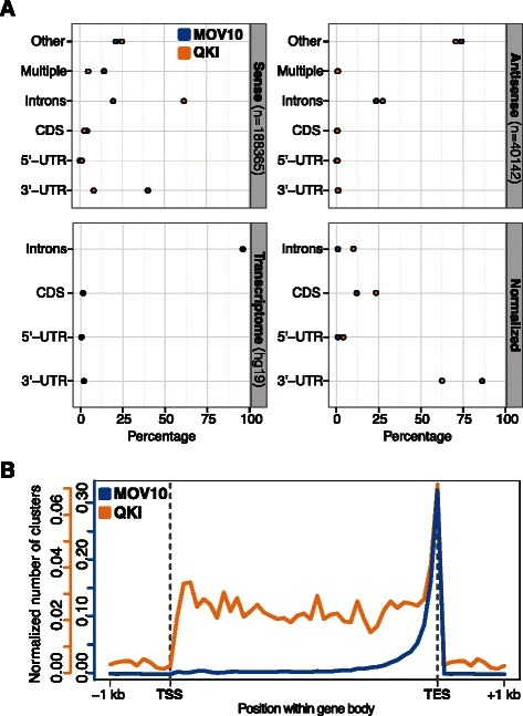 Post-processing of binding sites identified in the MOV10 and QKI data sets.(A) Annotation of MOV10 and QKI clusters with respect to the sense and antisense strand, respectively (top). The distribution of different transcript features in the human transcriptome (hg19, bottom left) is used to compute the normalized annotation profile for clusters mapping on the sense strand (bottom right). (B) Corresponding metagene profiles of MOV10 and QKI clusters.