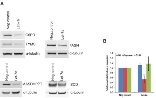 Let-7a affects key anabolic enzymes and cell-cycle progression in MDA-MB-231A, Protein levels of G6PDH, TYMS, FASN, AASDHPPT, and SCD on day 3 post transfection. WBs quantification is shown in the Table 1. B, cell-cycle was analyzed by flow cytometry using Hoechst 33342 staining on day 3 post transfection, n=6, SD.