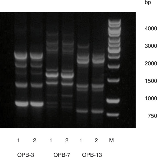 AP-PCR banding pattern of HK 1651 (JP2) [1] and isolate 456A1 [2] obtained by use of primers OPB-3, OPB-7, and OPB-13. Molecular weight marker (M).