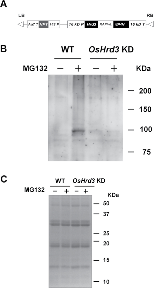 OsHrd3 is required for polyubiquitination of unfolded proteins in rice endosperm. (A) The construct used for OsHrd3 knockdown (OsHrd3 KD); 35S P, Cauliflower mosaic virus 35S promoter (AF485783); HPT, hygromycin phosphotransferase coding region (K01193); Ag7 T, gene 7 terminator (AF85783); 16 kD P, promoter region of the gene encoding 16kDa prolamin (AY427574); RAPint, an intron from the rice aspartic protease gene (D32165); 16 kD T, 16kDa prolamin terminator. (B and C) Levels of polyubiquitinated proteins are reduced in OsHrd3 KD seeds. Seeds (14 DAF) from wild-type (WT) and OsHrd3 KD plants were dehulled and treated with either 0.1% dimethylsulphoxide (–) or 100 μM MG132 (+) for 24h and then treated with 20 μM PR-619 for 1h. Then, total proteins were extracted from the seeds with SDS–urea buffer containing 2-mercaptoethanol. The total proteins were separated by SDS–PAGE, followed by immunoblot analyses using an antibody against ubiquitin–protein conjugates (B) or Coomassie Brilliant Blue staining (C).