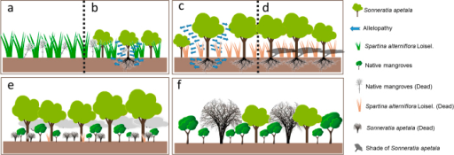 Schematic of the replacement control mechanism.(a) The regeneration failure of native mangrove plants and (b) the rapid growth of exotic species result in invasion by exotic invasive species and the growth of exotic plants. (c) Allelopathy and (d) shading result in the replacement of exotic invasive species by exotic plants. (e) The shaded environment formed by exotic species promotes the growth of native mangrove seedlings, whereas seedlings of the exotic species are unable to regenerate because of their heliophytic nutrition. (f) Exotic species will not cause a secondary invasion due to the failure to regenerate seedlings and the death of tall trees. Figure 10 was drawn by Zhili Feng and Ting Zhou.