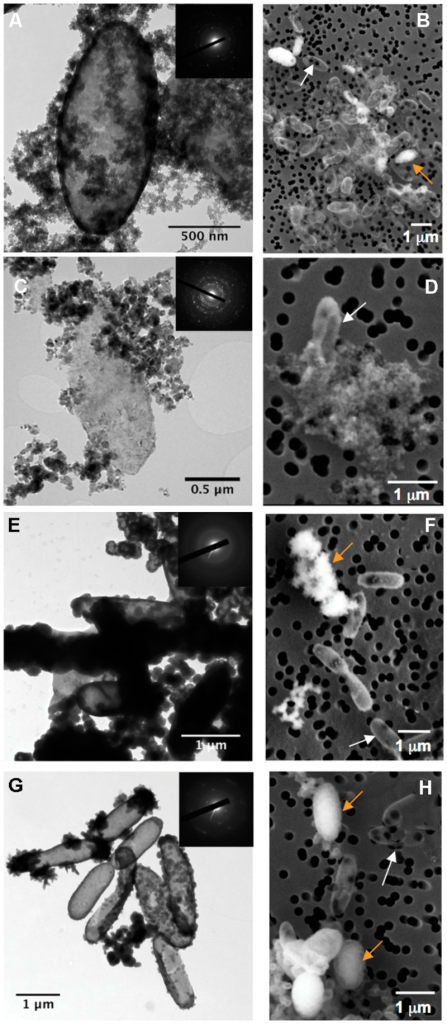 Electron microscopy analysis of BoFeN1 cells cultured in the different biomineralization media: (A,B); Lp-, (C,D); Mt-, (E,F); FeP- and (G,H); Gt-media. (A,C,E,G) are TEM images and (B,D,F,H) are scanning electron microscopy (SEM) images in secondary electron mode. Insets display corresponding selected area electron diffraction (SAED) patterns of lepidocrocite (A), magnetite (C), amorphous Fe-phosphate (E), and goethite (G). White and orange arrows indicate non-encrusted vs. encrusted cells, respectively.