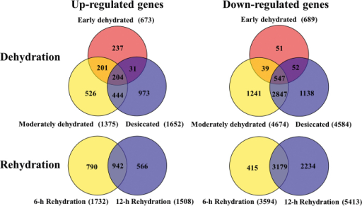Venn diagrams showing common genes significantly up- or down-regulated in dehydration and rehydration processes.