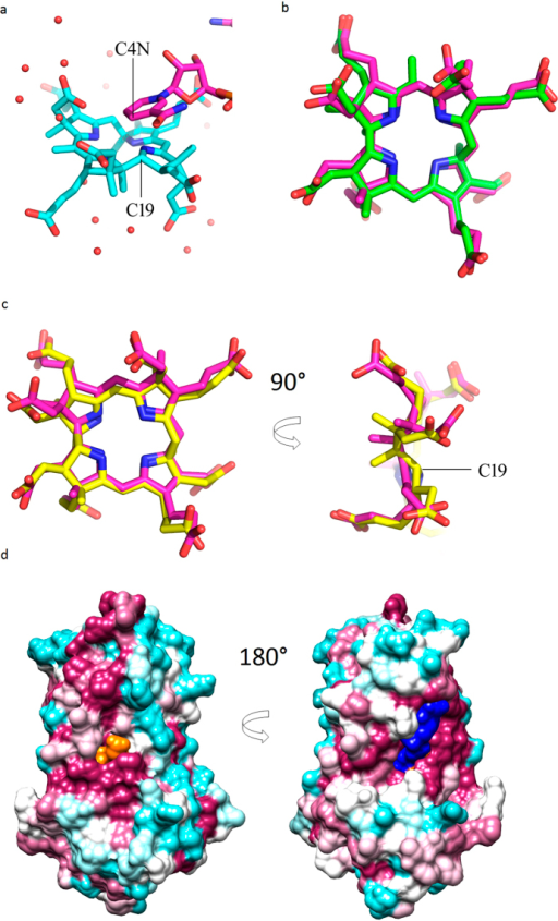 Product binding in detail.(a) NADPH and precorrin drawn in stick representation showing their relative orientation within the active centre of CobK. The geometry and separation of nicotinamide C4N and precorrin C19, 2.8 Å, is consistent with hydride transfer from C4N to C19. The carbons of the nicotinamide and precorrin are shown in magenta and cyan respectively. Oxygen atoms are red and nitrogen atoms blue; the small red spheres are water molecules shown as the proton may be provided by water to C18. (b) In silico the product precorrin-6B (magenta carbons) docks is a closely similar orientation to the bound product seen in the experimental structure (green carbons). (c) In silico the substrate precorrin-6A (yellow carbons) also docks into the active centre of CobK in similar orientation to that observed experimentally and clearly shows the changes in conformation that accompanies reduction of the C18-C19 bond. (d) Surface representation of the ternary complex. CobK surface coloured according to conservation in magenta (highly conserved) to cyan (poorly conserved), precorrin surface in orange, and NADPH surface in blue. The figure highlights the almost complete burial of the precorrin, this is the only surface of the precorrin visible in any orientation of the molecule and only the proprionate of ring-B can be seen protruding close to the conserved sequences that bind the substrate and product. This panel was produced using Chimera20.