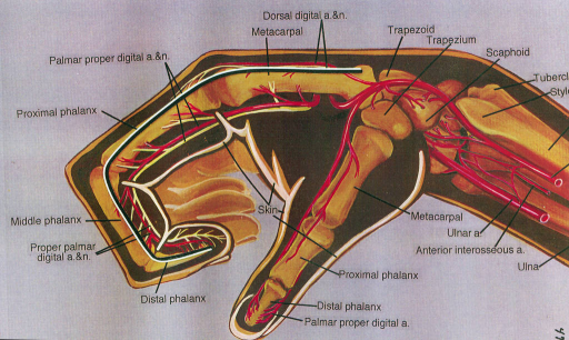 Digital artery anatomy