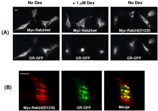 Effects of Rab24 wt and Rab24(D123I) on nuclear translocation of glucocorticoid receptor. (A) 3T3 cells expressing GR-GFP with mycRab24wt show predominant cytoplasmic localization of both proteins in the absence of Dex (left panels). After 10 min incubation with 1 μM Dex, most of the GC-GFP is within the nucleus in cells expressing Rab24wt (center panels). When GR-GFP was co-expressed with mycRab24(D123I) in the absence of steroid, much of the GR-GFP was localized to inclusion bodies containing the Rab24 mutant (right panel). Identical results were observed when 1 μM Dex was added (not shown). (B). Higher magnification shows extensive co-localization of myc-Rab24(D123I) (red) with GR-GFP (green) in nuclear inclusion bodies. The bar represents 10 microns.
